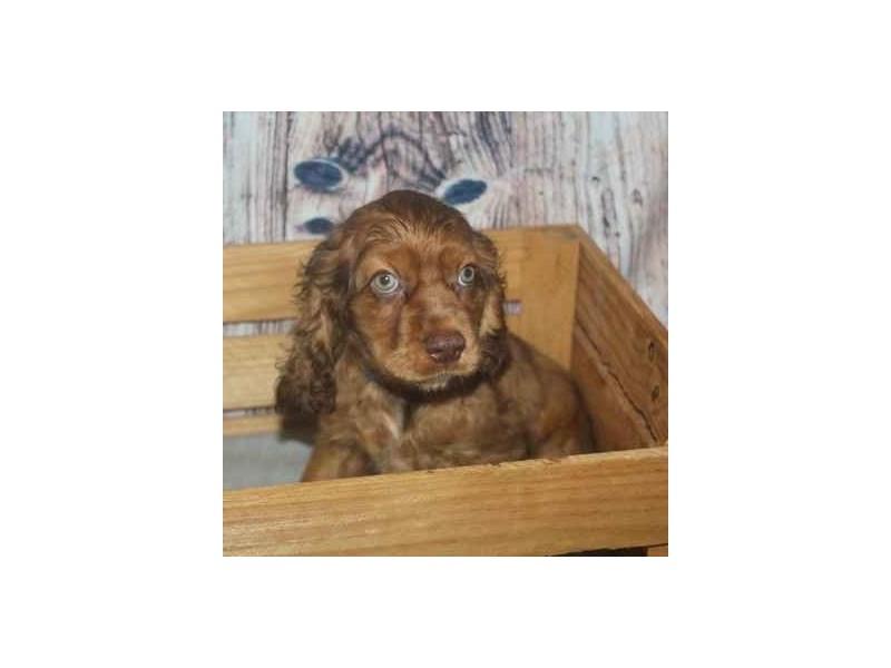Cocker Spaniel-Male-CHOC ROAN-2458578-Pet City Houston