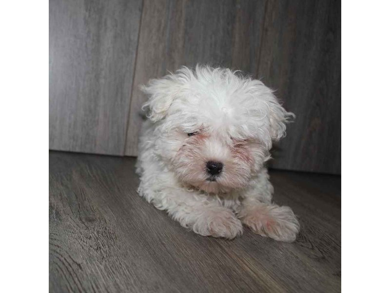 Maltese-Male-WHITE-2458640-Pet City Houston