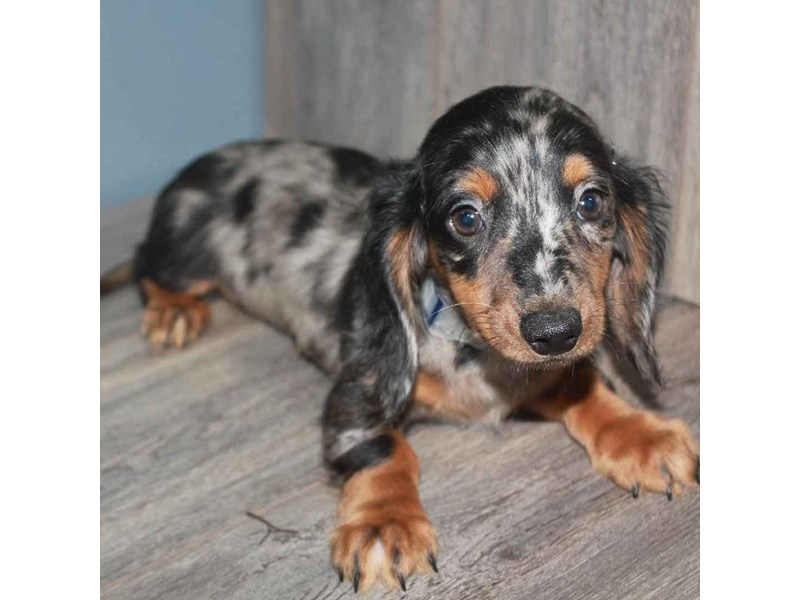 Dachshund-Male-DAPPLE-2458585-Pet City Houston