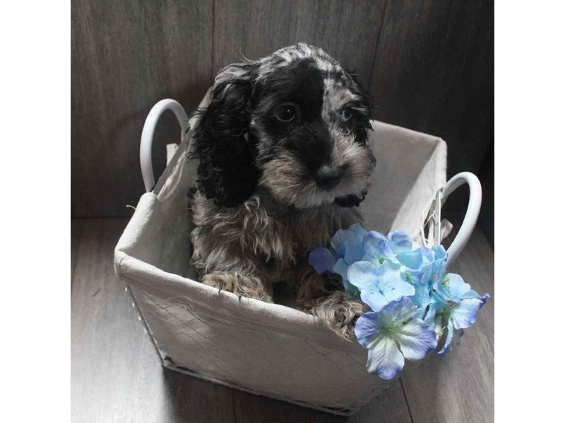 Cockapoo-Male-GREY DAPPLE-2458577-Pet City Houston