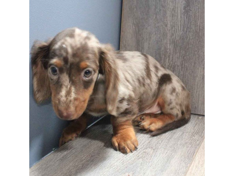 Dachshund-Male-DAPPLE-2458584-Pet City Houston
