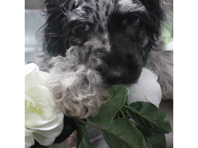 Cockapoo-Female-GREY DAPPLE-2458576-Pet City Houston