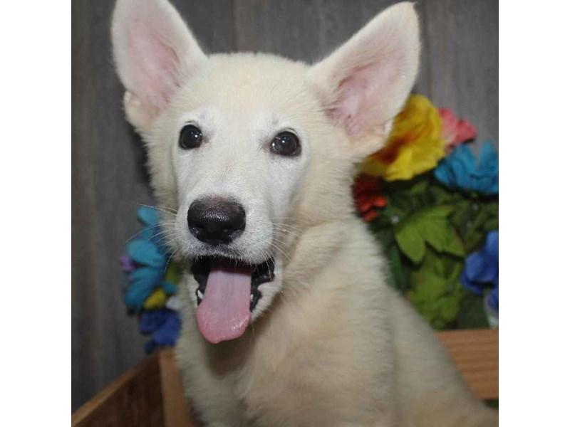 German Shepherd-Female-WHITE-2458611-Pet City Houston