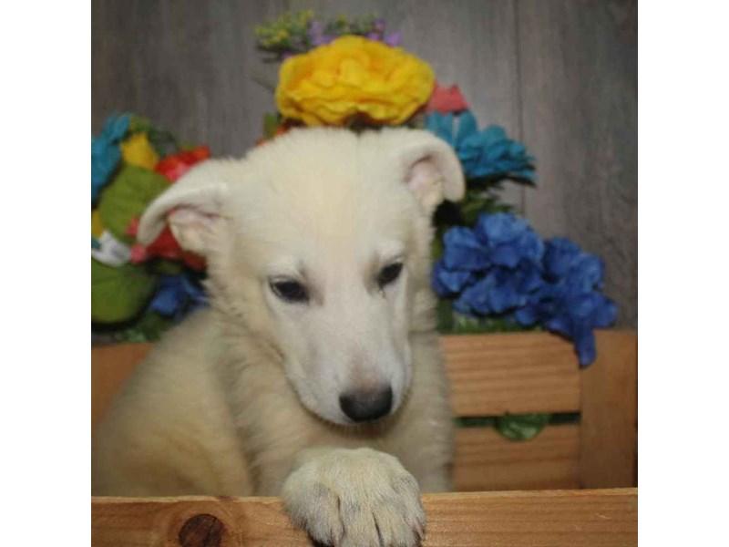 German Shepherd-Male-WHITE-2458608-Pet City Houston