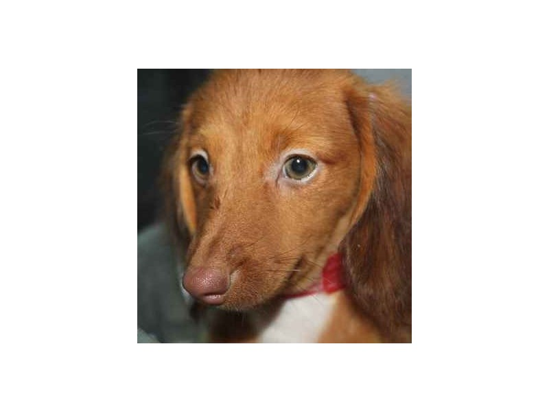 Dachshund-Female-WILD BOAR-2458581-Pet City Houston