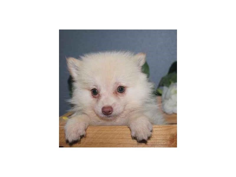 Pomeranian-Male-cream-2460628-Pet City Houston