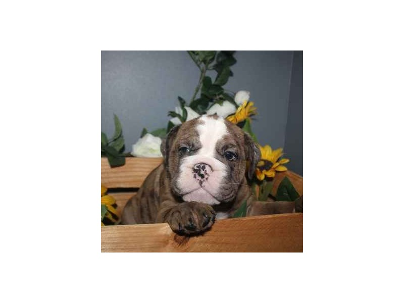 English Bulldog-Female-CHOCOLATE MERLE-2458596-Pet City Houston