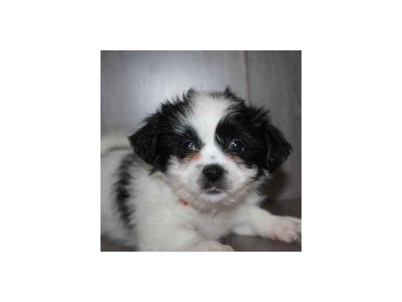 Malshi-Female-BLK/WHITE-2458623-Pet City Houston