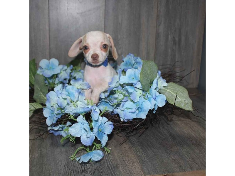 Chiweenie-Male-WHT CREAM MKGS-2468136-Pet City Houston