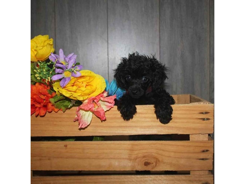 Toy Poodle-Female-BLACK-2468316-Pet City Houston