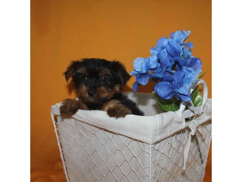Yorkshire Terrier-Female-BLACK & TAN-2468243-Pet City Houston