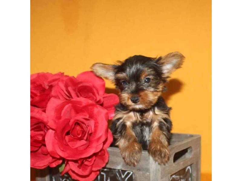 Yorkshire Terrier-Male-BLACK & TAN-2468249-Pet City Houston