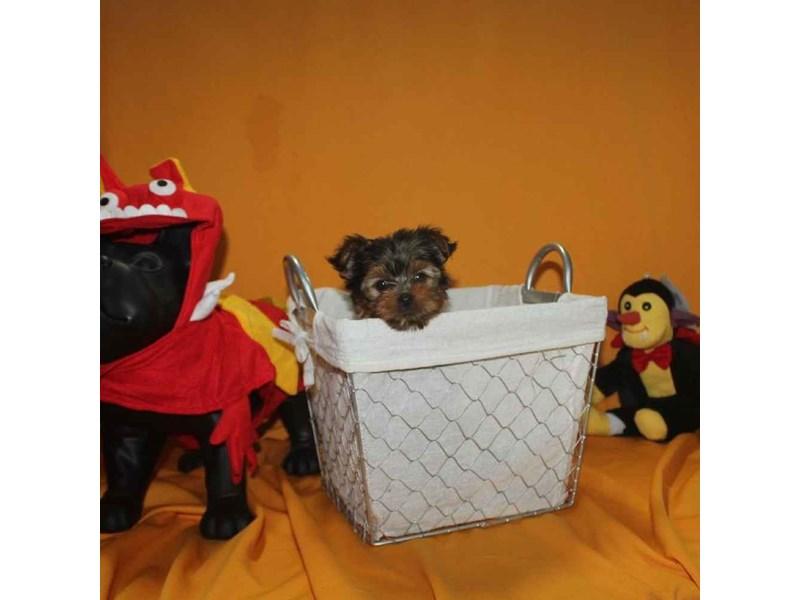 Yorkshire Terrier-Female-BLACK & TAN-2468234-Pet City Houston