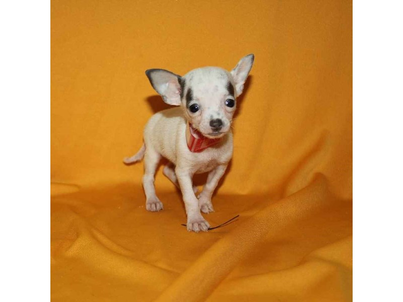 Chihuahua-Female-WHITE-2468259-Pet City Houston