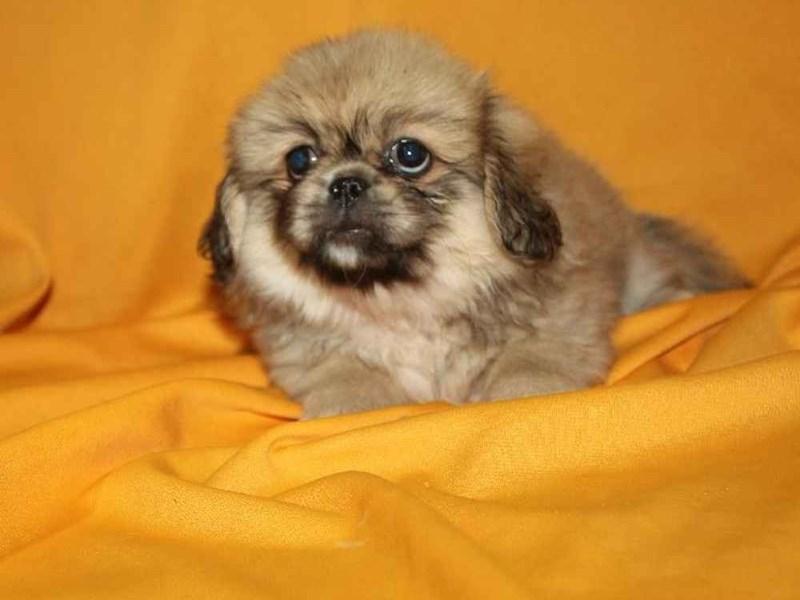 Pekingese-Male-FAWN-2468216-Pet City Houston