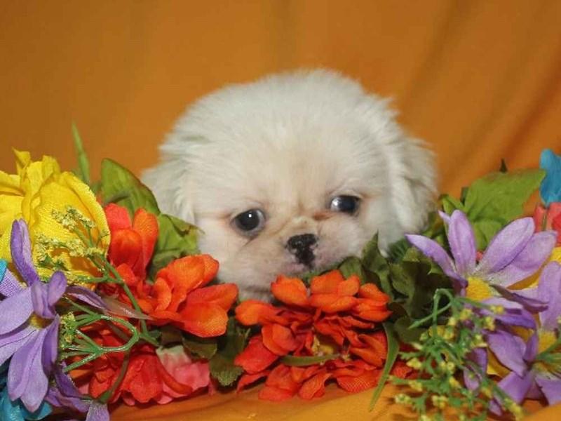 Pekingese-Male-CREAM-2468215-Pet City Houston