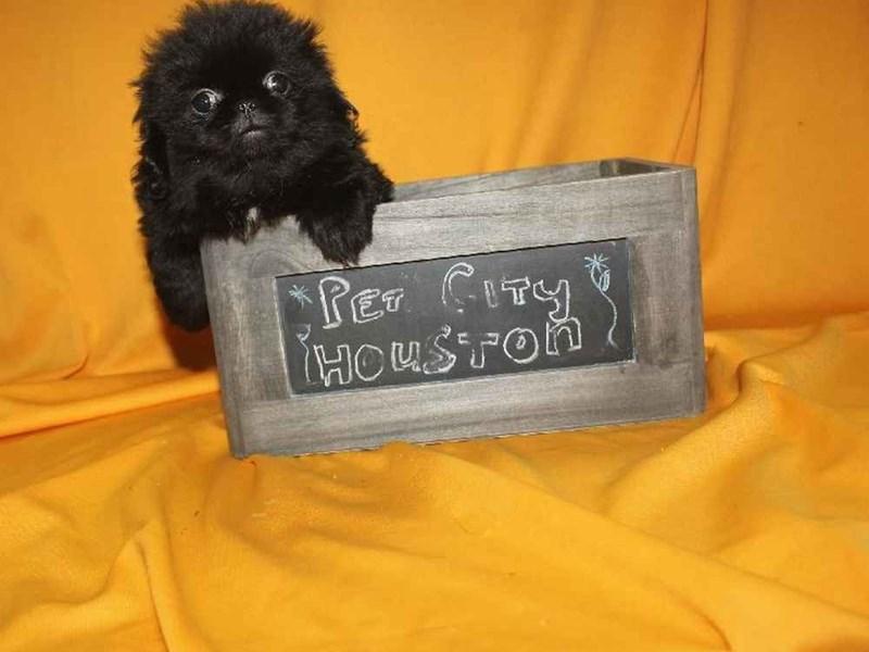 Pekingese-Female-BLACK-2468213-Pet City Houston