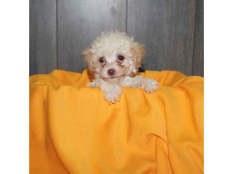 Toy Poodle-Female-CREAM-2468226-Pet City Houston