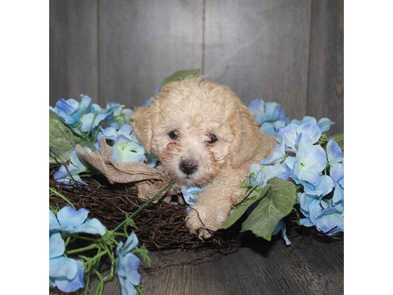 Toy Poodle-Male-CREAM-2468225-Pet City Houston