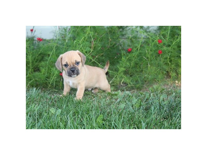 Puggle-Male-FAWN-2471734-Pet City Houston