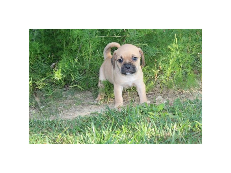 Puggle-Male-FAWN-2471737-Pet City Houston