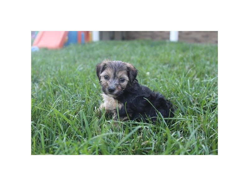 Yorkie Poo-Female-BLK & TN-2471849-Pet City Houston