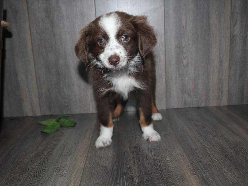 Miniature Australian Shepherd-Male-RED/WHITE-2471249-Pet City Houston