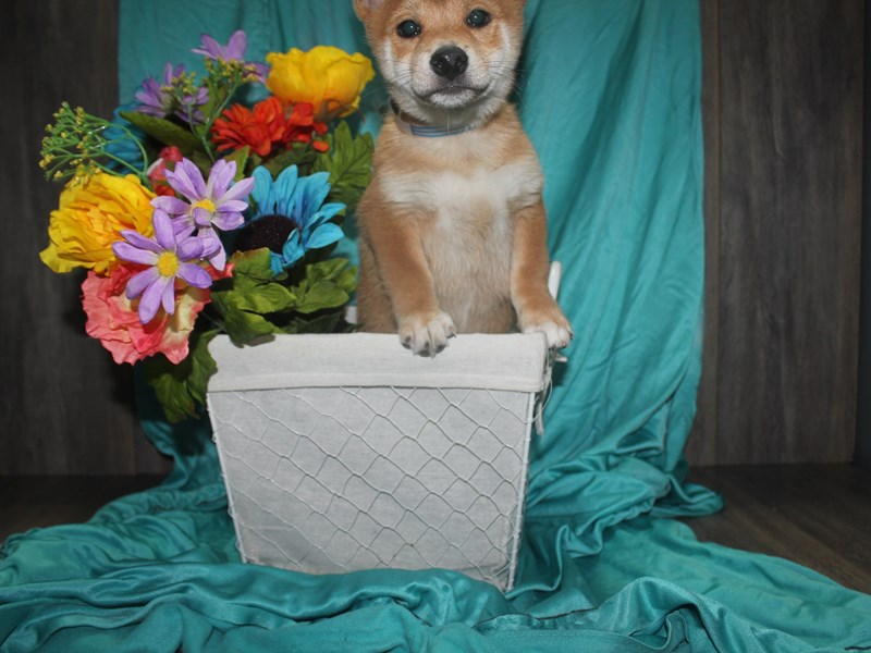 Shiba Inu-Male-RED SESAME-2471963-Pet City Houston