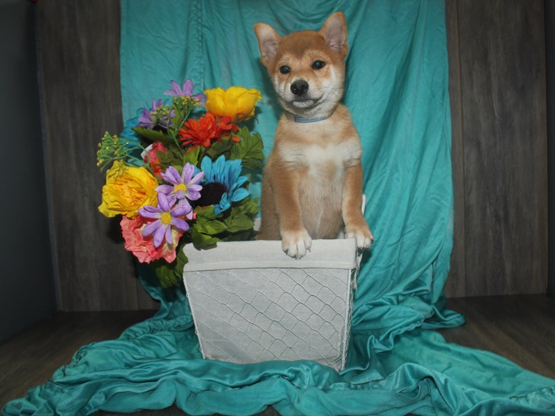 Shiba Inu-Male-RED SESAME-2471954-Pet City Houston
