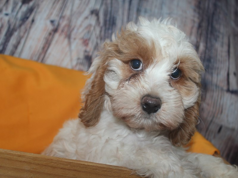 Cockapoo-Female-White Buff MKGS-2478151-Pet City Houston