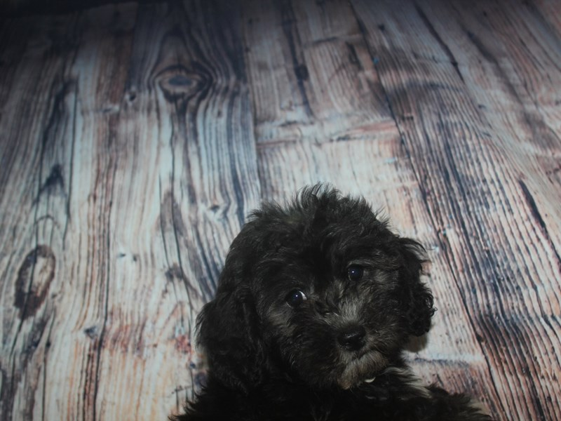 Lhasa Poo-Female-BLACK-2478138-Pet City Houston