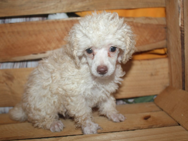 Poodle-Female-CREAM-2499195-Pet City Houston