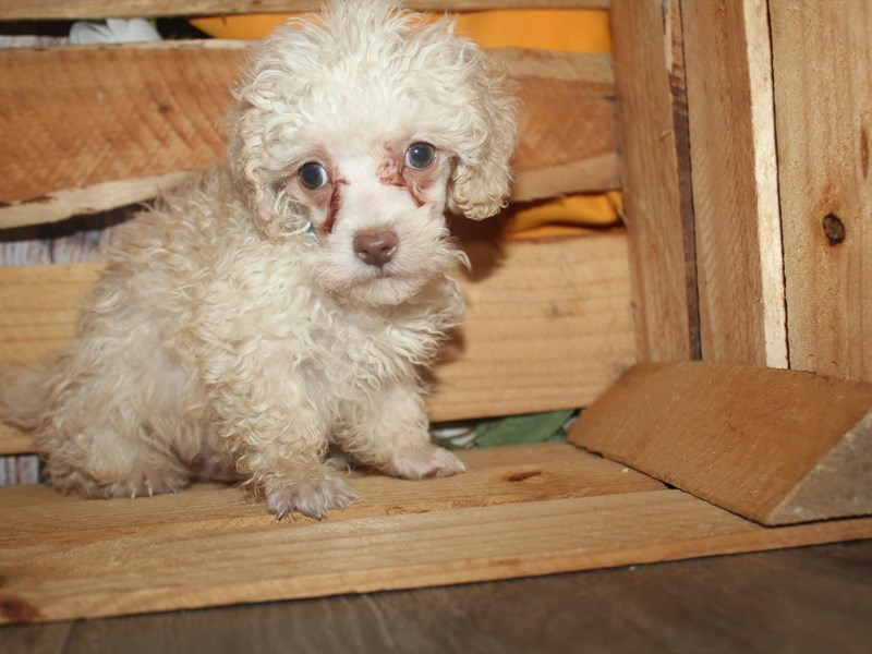 Poodle-Male-CREAM-2499171-Pet City Houston