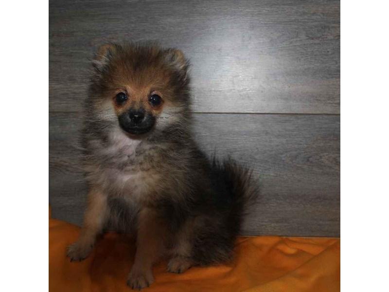 Pomeranian-Male-ORG SABLE-2460621-Pet City Houston
