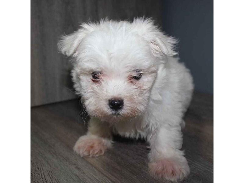 Maltese-Male-WHITE-2460598-Pet City Houston