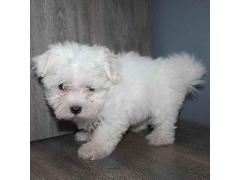 Maltese-Male-WHITE-2460597-Pet City Houston