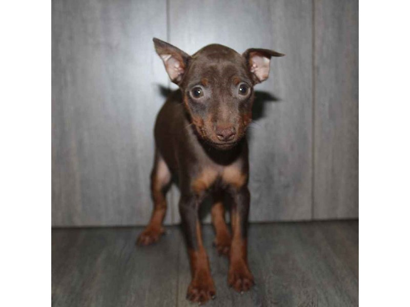 Miniature Pinscher-Male-CHOCOLATE / TAN-2460611-Pet City Houston