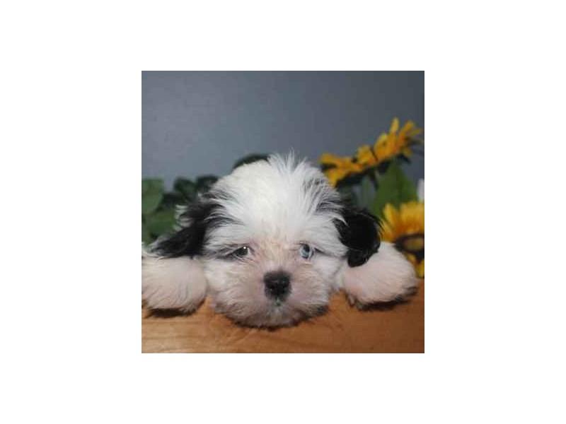 Shih Tzu-Male-BLK/WHITE-2460645-Pet City Houston