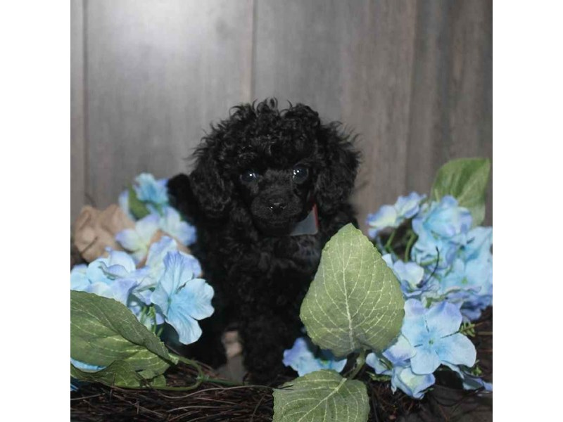 Toy Poodle-Female-BLACK-2468318-Pet City Houston