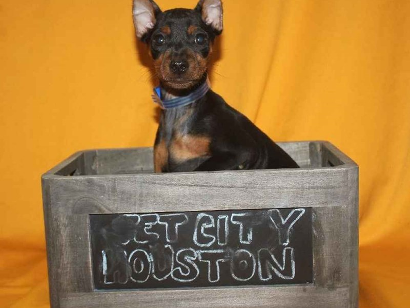 Miniature Pinscher-Male-BLACK & TAN-2468228-Pet City Houston