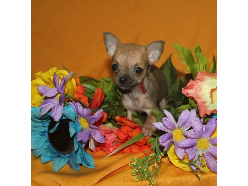 Chihuahua-Female-SABLE-2468256-Pet City Houston
