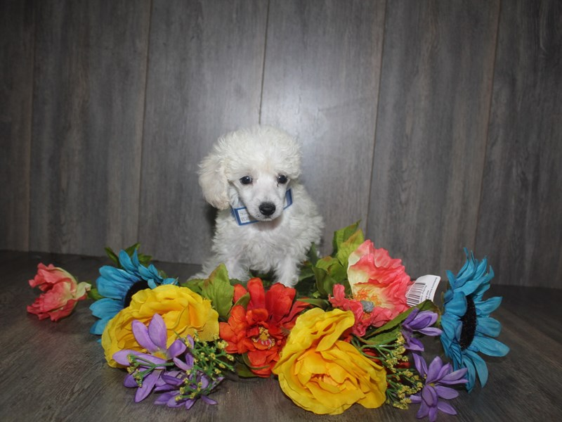 Toy Poodle-Male-WHITE-2467234-Pet City Houston