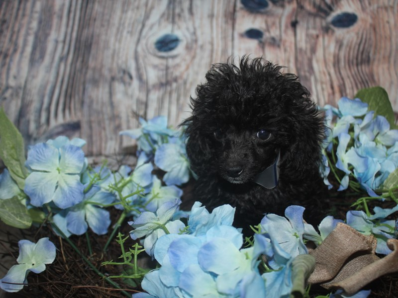 Toy Poodle-Male-BLACK-2493812-Pet City Houston