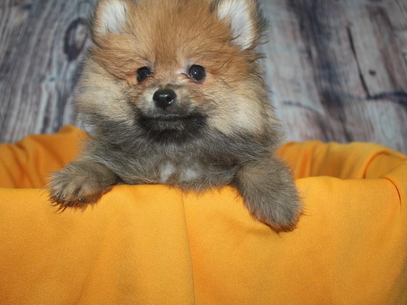 Pomeranian-Male-LIGHT ORANGE-2498560-Pet City Houston
