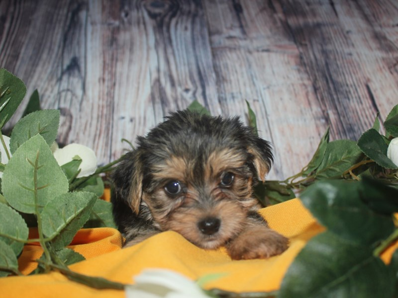 Morkie-Male-BLK/TAN-2499087-Pet City Houston