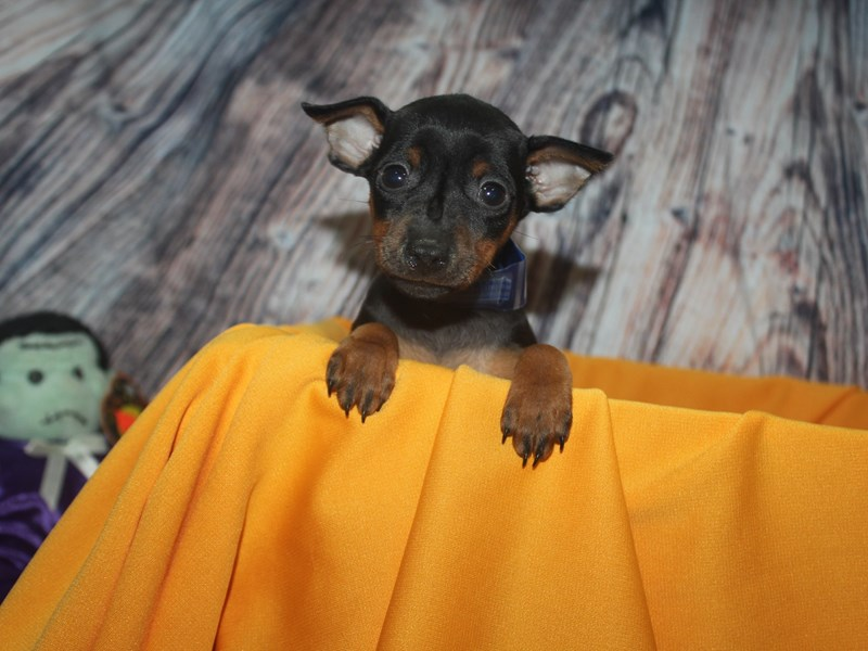 Miniature Pinscher-Male-BLK/TAN-2499290-Pet City Houston