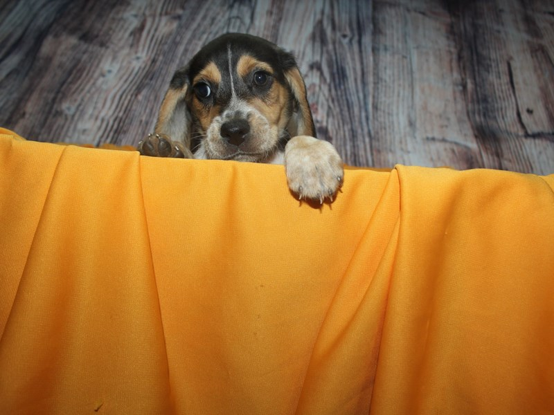 Beagle-Male-TRI-2499199-Pet City Houston
