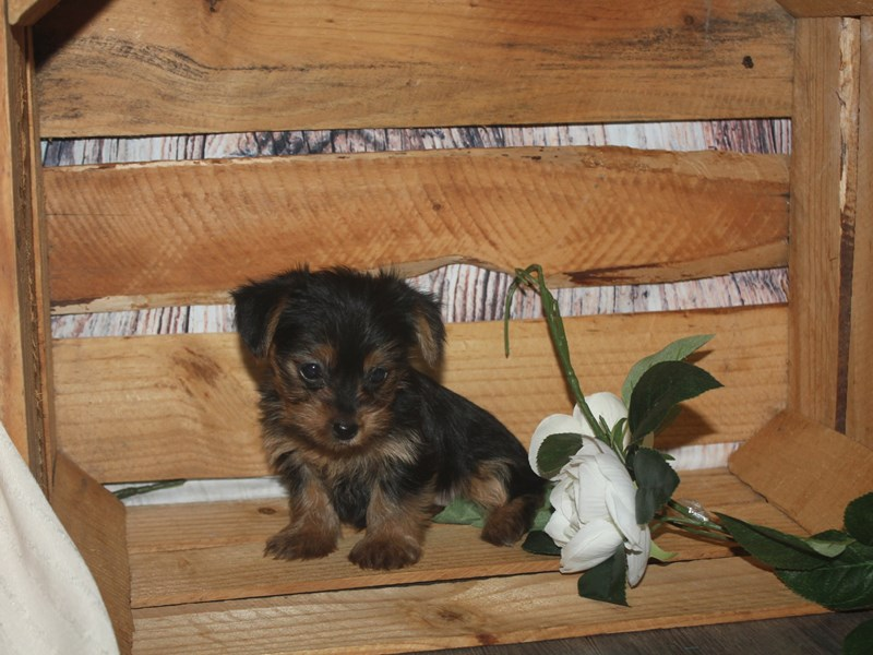 Yorkshire Terrier-Female-BLK/TAN-2513592-Pet City Houston