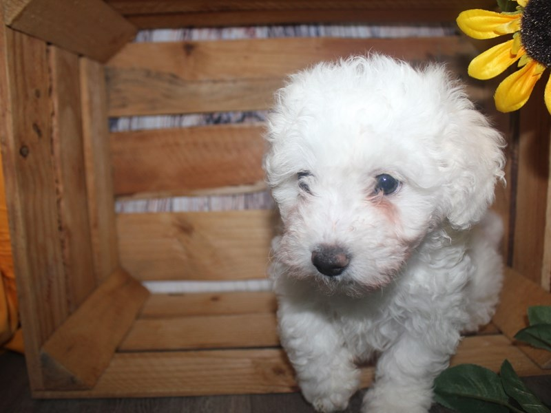 Bichon Frise-Female-WHITE-2513624-Pet City Houston
