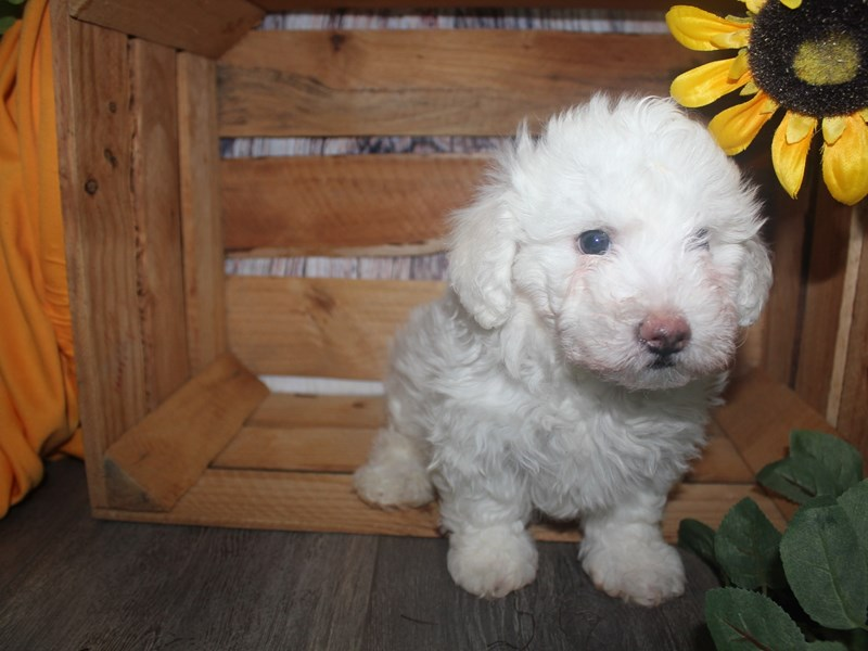 Bichon Frise-Male-WHITE-2513623-Pet City Houston